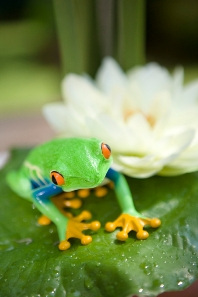 Frog on a lilypad Ancora News